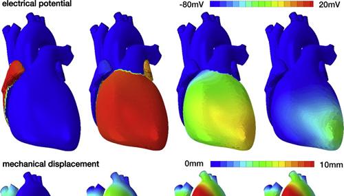Una simulazione del funzionamento del muscolo cardiaco (Fonte: http://www.sciencedirect.com/)