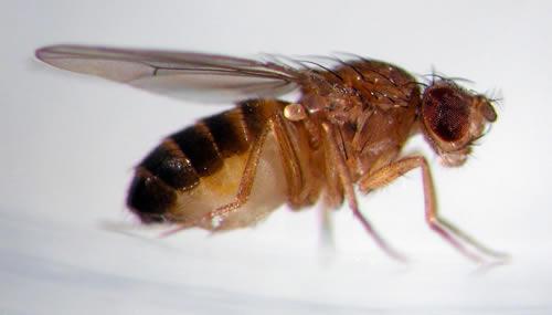 I moscerini della frutta vengono modificati geneticamente per studiare le malattie